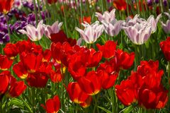 Groups of colorful tulips in the park. Background Stock Photo