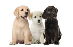Groups of dogs, Labrador puppies. Puppy chocolate Labrador Retriever, in front of white background royalty free stock images