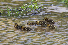 Groups of ducklings ducklings swimming together. And searching for food with its beaks in water Stock Image