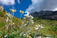 Groups of Edelweiss mountain flowers in the limestone mountains Stock Images