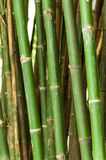 Groups of green bamboo trees. Stock Photo