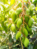 Groups of Hanging Green Mangoes. Close up Groups of Hanging Green Mangoes Royalty Free Stock Photos