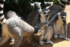 Groups of lemurs sit in the shade holding a stick. Group of lemurs sit in the shade holding a stick royalty free stock photo