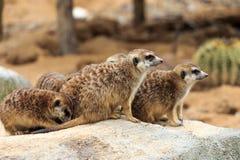 Juveniles. Groups of meerkats in the park Stock Photos