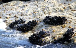 Groups of molluscs and mussels on the rocks by the sea. With waves Royalty Free Stock Images