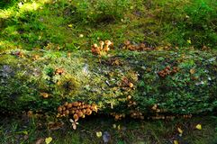 Mushrooms on fallen tree in autumn stock images