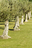Groups of olive trees Stock Images