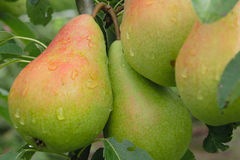 Groups of pears in end of summer. Groups of narural pears on tree in end of summer Royalty Free Stock Photos