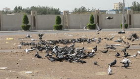 Groups of pigeons in jeddah city Stock Photography