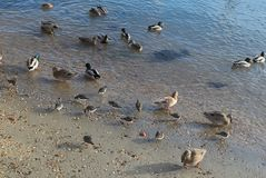 Seabirds in a group on the shore. Groups of sea birds on the shore. A sunny day along the shore and the birds wait for food that people bring Royalty Free Stock Image