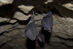 Groups of sleeping bats in cave Royalty Free Stock Image