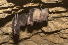 Groups of sleeping bats in cave - Lesser mouse-eared bat Myotis blythii and Rhinolophus hipposideros - Lesser Horseshoe Bat. Stock Photos