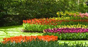 Groups of tulips. Groups of colorful tulips in the park in spring Royalty Free Stock Photos