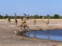 Groups of ungulates at waterhole, Etosha, Namibia. The Groups of ungulates at waterhole, Etosha, Namibia royalty free stock image