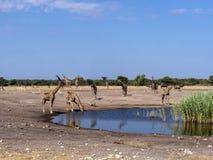 Groups of ungulates at waterhole, Etosha, Namibia. The Groups of ungulates at waterhole, Etosha, Namibia royalty free stock photos