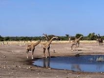Groups of ungulates at waterhole, Etosha, Namibia. The Groups of ungulates at waterhole, Etosha, Namibia stock photo