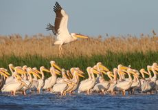 Groups of white pelicans. Are photographed standing in the water against the background of green aquatic plants. Close-up and detailed photos of these stock photo