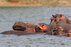 Groupt av flodhästar som kopplar av i vatten arkivbilder