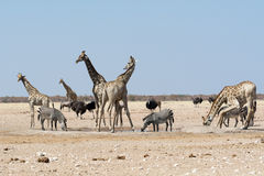 Groupt of giraffes and other animals at waterhole. Stock Photography