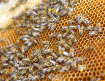 Groupwork. Little bees working in the beehive Stock Photography