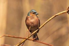 Общий зяблик, яркая птица сидит на тонкой ветви и взглядах на фотографе Птицы города o : Дикий стоковое фото rf