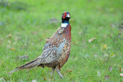 Grouse Stock Image