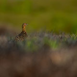 grouse Fotografie Stock