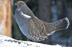 Grouse bleue Photos libres de droits