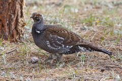 Grouse bleue Photos stock