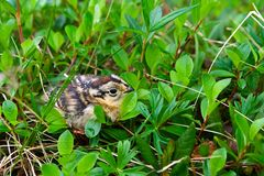 Grouse chick. Sitting in the grass Royalty Free Stock Photography