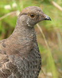 Grouse de suie Photographie stock libre de droits