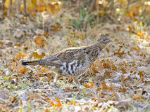 Grouse on frosted leaves Stock Photo