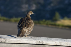 Grouse hen. A watchful sooty grouse keeps an eye out while chicks graze nearby Royalty Free Stock Photos