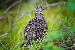 Grouse impeccable (canadensis de Falcipennis) Photos stock