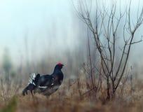 Grouse Lekking черный Стоковые Изображения