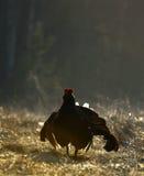 Grouse Lekking черный (tetrix Lyrurus) Стоковые Фотографии RF