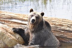 Grouse Mountain Grizzly bear portrait, Vancouver, British Columbia, Canada. A close up of a well known Grizzly bear, on Grouse Mountain, in Vancouver royalty free stock image