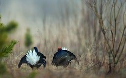 Grouse noire de combat Photographie stock libre de droits