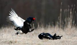 Grouse noire de combat Images stock