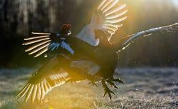 Grouse noire de Lekking (tetrix de Lyrurus) Photos stock