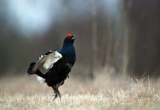Grouse noire sautante Photographie stock libre de droits