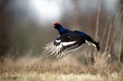 Grouse noire sautante Images stock