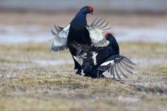 Grouse noire, tetrix de Tetrao Photo libre de droits