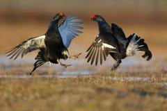 Grouse noire, tetrix de Tetrao Photographie stock libre de droits