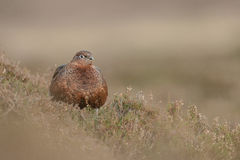 Grouse rouge photos stock