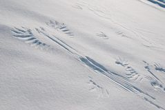 Grouse's tracks. Some tracks of a grouse taking flight in snow stock photos