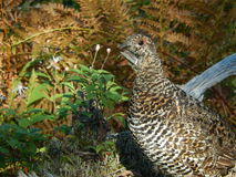 grouse spruce Royaltyfri Bild