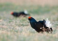 Grouses noires dans le plumage d'élevage Images libres de droits