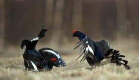 Grouses noires de combat Photographie stock libre de droits