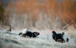 Grouses noires de Lekking photo libre de droits